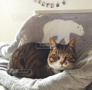 こたつ布団の上に座っている猫の写真・画像素材[4078561]