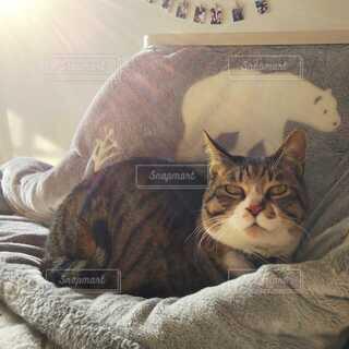 こたつ布団の上に座っている猫の写真・画像素材[4078845]