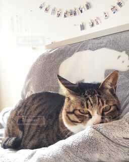 こたつ布団の上に座っている猫の写真・画像素材[4084793]