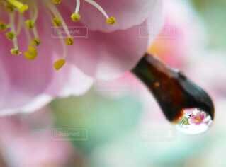 雫のついた梅の花のクローズアップの写真・画像素材[4089058]