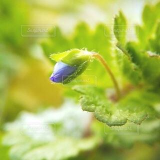 オオイヌノフグリの蕾の写真・画像素材[4102778]