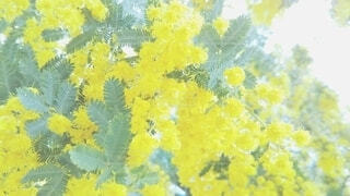 ミモザの花の写真・画像素材[4102949]