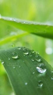 雨あがりの葉っぱと雫の写真・画像素材[4102986]