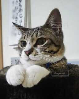 キャットタワーに座っている猫の写真・画像素材[4106517]
