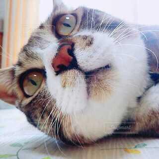 猫の丸い顔の写真・画像素材[4106929]