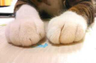 テーブルの上の猫の手の写真・画像素材[4108663]