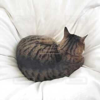 布団の上の猫の写真・画像素材[4163302]