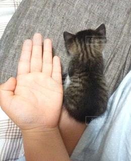 女の子の手と子猫の写真・画像素材[4222021]