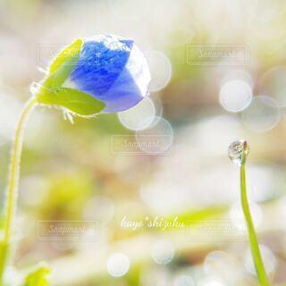 オオイヌノフグリの写真・画像素材[4342584]