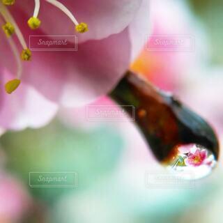 しだれ梅についた雫の写真・画像素材[4409369]