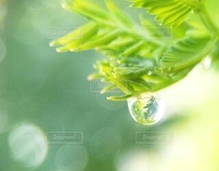 ミモザの葉と雫の写真・画像素材[4409936]