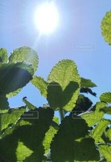 ミントの葉っぱの写真・画像素材[4443676]