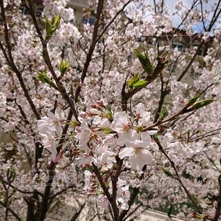 風景,花,春,桜の花,さくら