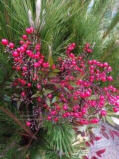 冬,屋外,赤,お正月,草木