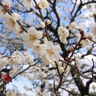春,屋外,梅,樹木,梅の花,春の訪れ