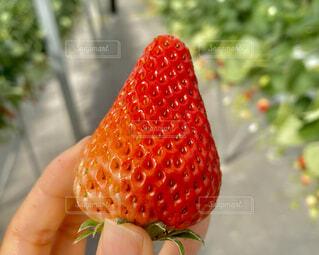食べ物,いちご,果物,人物,人,甘い,いちご狩り,美味しい,種,草木,イチゴ