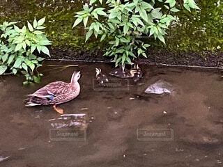 動物,鳥,屋外,散歩,景色,鴨,お散歩,草木
