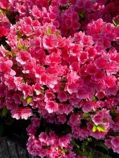 風景,花,屋外,景色,お花,たくさん,ツツジ,赤色,一眼レフ,草木,素人,ガーデン,ブルーム,素人撮影,フローラ