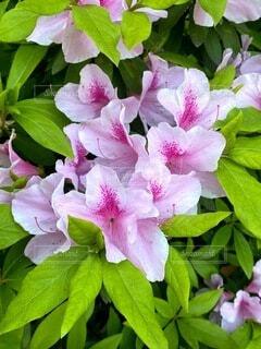 花,屋外,植物,景色,お花,たくさん,ツツジ,一眼レフ,草木,素人,素人撮影,フローラ
