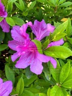 花,屋外,景色,お花,たくさん,ツツジ,一眼レフ,草木,素人,素人撮影,フローラ