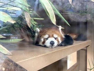 動物,屋外,かわいい,寝ている,人,ハリネズミ,可愛い,動物園,デート,思い出,レッサーパンダ,お出かけ