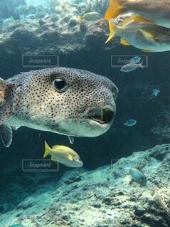 動物,魚,水族館,泳ぐ,水中,フグ