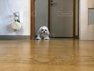 犬,動物,白,かわいい