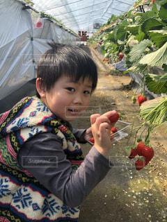 子ども,食べ物,果物,人物,人,赤ちゃん,幼児,いちご狩り,少年,若い,美味しかった,少し,クリスマス ツリー