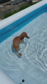 犬,動物,庭,ボール,ミニチュアダックス,プール開き,スイミング プール,おうちで過ごそう