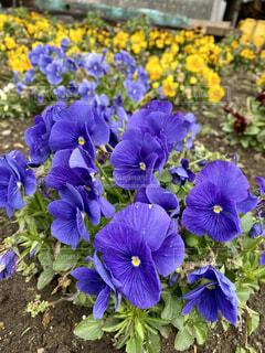 自然,風景,花,春,冬,花畑,屋外,緑,紫,黄色,景色,花びら,パープル,満開,美しい,大地,癒し,花壇,イエロー,畑,カラー,草木,咲き誇る,ガーデン,フローラ,かれん