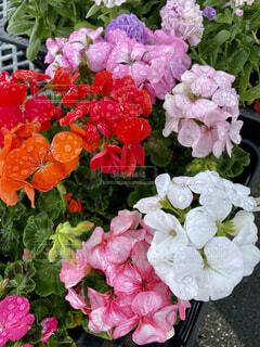 風景,花,ピンク,赤,白,景色,花びら,華やか,苗,クローズアップ,草木,眺め,近景,花々,ガーデン,ブルーム,フローラ,かれん