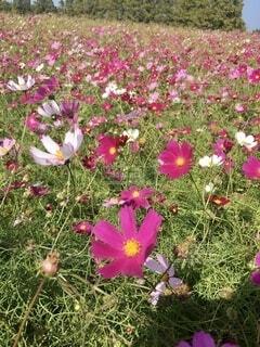 風景,花,花畑,屋外,コスモス,観光地,景色,花びら,草,背景,高原,さわやか,一面,見晴らし,草木,じゅうたん,一年草,フローラ,小林