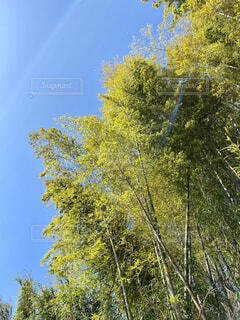 空,花,春,秋,森林,屋外,森,緑,青空,葉,林,樹木,竹,成長,草木,高い,広がり,早春,対比