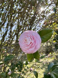 自然,花,春,冬,屋外,ピンク,太陽,緑,散歩,葉,季節,景色,花びら,木漏れ日,椿,樹木,木立,日向,草木,眺め,挨拶,早春,大輪,カード,一輪の