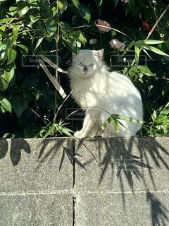 猫,動物,屋外,太陽,白,季節,木漏れ日,椿,樹木,竹,木立,野良猫,日向ぼっこ,ブロック,草木,眺め,早春,見ごろ,生垣,定位置