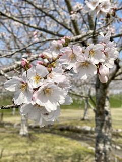 桜のクローズアップの写真・画像素材[4269691]