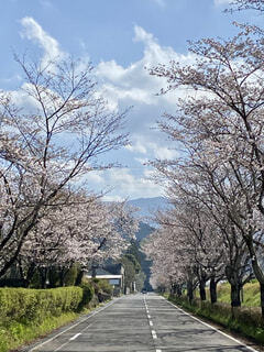 桜並木の写真・画像素材[4321309]