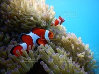 自然,魚,カクレクマノミ,珊瑚礁,クマノミ,サンゴ礁の魚