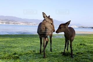 海,動物,屋外,海岸,景色,鹿