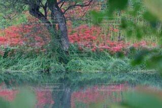 自然,風景,花,秋,森林,屋外,緑,赤,散歩,水面,池,景色,草,樹木,彼岸花,草木,泉