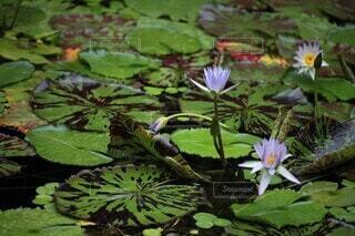 自然,花,屋外,緑,水面,池,草,スイレン,水生植物