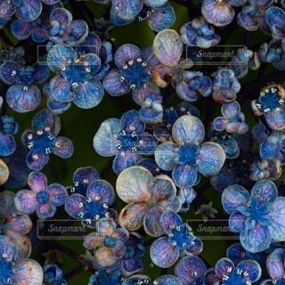 自然,花,あじさい,青,紫,紫陽花,丸,たくさん,クローズアップ,円,つぶつぶ,アジサイ,舞踏会,ボールルーム