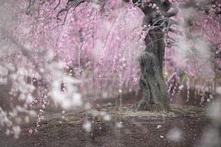 花,屋外,梅,樹木,桃色,梅の花,草木,2月,しピンク