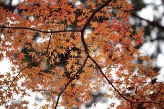 空,秋,紅葉,屋外,葉,オレンジ,樹木,曇り空,落葉,草木,11月,カエデ
