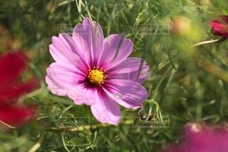 花,コスモス,花びら,フローラ
