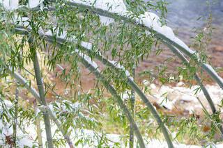 自然,雪,屋外,散歩,川,水面,樹木,竹,草木,1月,斜め