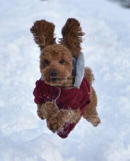 犬,冬,動物,雪,屋外,走る,トイプードル,跳ぶ