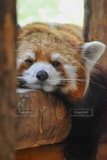 レッサーパンダの写真・画像素材[4037320]