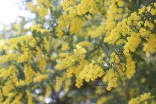 花,春,黄色,樹木,ミモザ,卒業,草木,プロポーズ,春の花,女性デー
