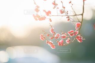 紅梅の写真・画像素材[4184796]